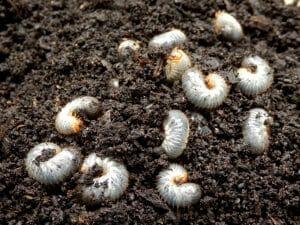 managing local pests